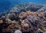 541_Hoga-04_Soft-coral_P8150161_P1018566.jpg