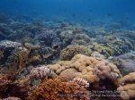 542_Hoga-04_Soft-coral_P8150160_P1018565.jpg