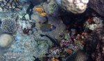 546_Hoga-04_Spotted-Boxfish_P8150153_P1018558.jpg