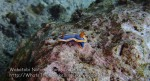 564_Hoga-05_Nudibranch-Annas-Chromodoris_P8150208_P1018621.jpg
