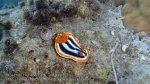 Indo_Wakatobi_565_Hoga-05_Nudi-Magnificent-Chromodoris_Chromodoris-magnifica_P8160104_P1018564