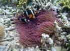 572_Hoga-05_Clarkes-Anemonefish_P8150203_P1018616.jpg
