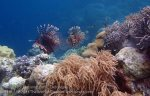 575_Hoga-05_Common-Lionfish_P8150237_P1018650.jpg