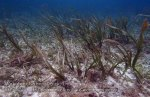 622_Hoga-Shallows_Sea-grass_P8150251_P1018664.jpg