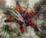 628_Hoga-Shallows_Horned-Sea-Star_P8170089_P1018612.jpg