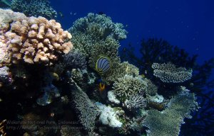 824_Tomia-04_Meyers-Butterflyfish_P8120097_P1018622.jpg