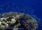 839_Tomia-05_Reef_P8120115_P1018640.jpg