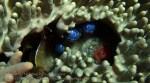 845_Tomia-05_Sea-Pearls-Ventricaria-ventricosa_P8120120_P1018645.jpg