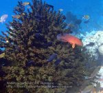 919_Tomia-06_Red-Coral-Grouper_P8130238_P1018759.jpg