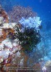 930_Tomia-06_Sponges-Black-Coral_P8130224_P1018745.jpg