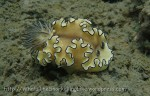 Species_Nudis_Chromodorididae_Doriprismatica_Black-Margined-Glossodoris_Glossodoris-atromarginata_P5031973_