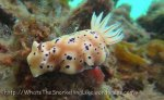Species_Nudis_Chromodorididae_Hypselodoris_Tryons-Risbecia_Risbecia-tryoni_20141031_IMG_3115_