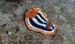 Species_Nudis_Chromodoris_Chromodoris_Magnificent-Chromodoris_Chromodoris-magnifica_P8160104_P1018564_