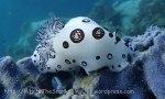 Dorididae_Jorunna_Dotted-nudibranch_Jorunna-funebris_P5083628 Tao.JPG