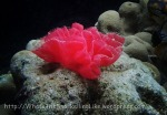 Species_Nudis_Egg-ribbon_Probably-Spanish-Dancer_Hexabranchus-sanguineus_P8150175_P1018583_