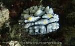Species_Nudis_Phyllididae_Phyllidia_Elegant-Phyllidia_Phyllidia-elegans_P1227561_
