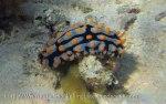 Species_Nudis_Phyllididae_Phyllidia_Varicose-Phyllidia_Phyllidia-varicosa_20141024_IMG_1371_