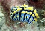 Phyllidiidae_Phyllidia_Black-Rayed-Fryeria_Fryeria-picta_P1197142 89 Ngai.JPG