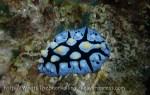 Species_Nudis_Phyllidiidae_Phyllidia_Black-Rayed-Fryeria_Fryeria-picta_PA011273_