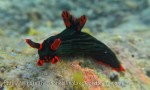 Species_Nudis_Polyceridae_Nembrotha_Dusky-Nembrotha_Nembrotha-kubaryana_20141202_IMG_9824_