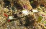 Species_Nudis_Polyceridae_Nembrotha_Lined-Nembrotha_Nembrotha-lineolata_20141029_IMG_2244_