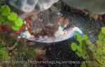Species_Nudis_Polyceridae_Nembrotha_Lined-Nembrotha_Nembrotha-lineolata_20141029_IMG_2246_
