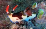 Species_Nudis_Polyceridae_Nembrotha_NoCommonname_Nembrotha-purpureolineata-AKA-Nembrotha-rutilans_20141020_IMG_0221_