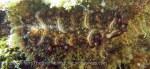 Species_Worms_Flatworm_Persian-Carpet-Flatworm_Pseudobiceros-bedfordi_20141031_IMG_2999