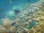 125_1d-Twotone-Dartfish-n-Moon-Wrasse_20150405_IMG_5499.jpg