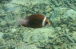 144_2bc-Whitecheek-Monocle-Bream_20150405_IMG_5534.jpg