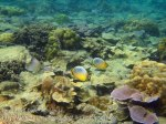 182_3-Redfin-Butterflyfish_20150402_IMG_4802.jpg