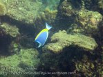 189_3-Powder-Blue-Surgeonfish_20150402_IMG_4808.jpg