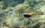 252_5-Blackpatch-Triggerfish_20150402_IMG_4847_.jpg