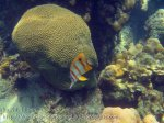 289_5-Long-Beaked-coralfish_20150402_IMG_4880.jpg