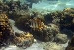 304_5-Beaked-Coralfish_20150402_IMG_4884.jpg