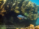 323_5-Yellowbelly-Damselfish_20150402_IMG_4904.jpg