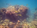 Thai_PPDon_330_5-Coral-Rabbitfish_20150402_IMG_4913