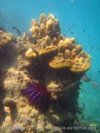 334_5-Crown-of-Thorns-Starfish_20150402_IMG_4919.jpg