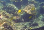 348_5-Lattice-Butterflyfish_20150402_IMG_4947.jpg