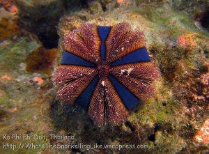384_5-Urchin-Mespilia-Globulus_20150402_IMG_4976.jpg