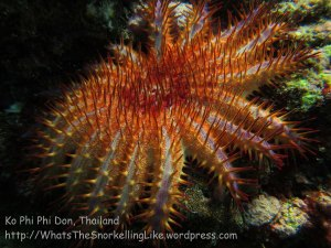 543_7f-Crown-of-Thorns-Starfish_20150404_IMG_5292.jpg